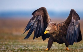 Picture Eagle, bird, wings, animal
