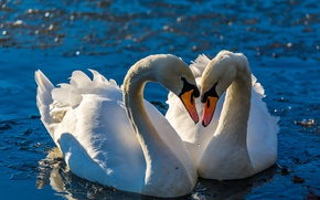Picture water, love, birds, pose, lights, pair, swans, pond, blue water, bokeh
