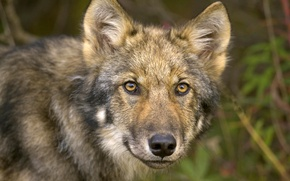 Picture eyes, face, Wolf