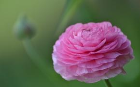 Picture macro, Bud, Ranunculus