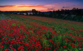 Picture field, sunset, flowers, Maki, Spain, Spain, poppy field, Mendijur, Basque Country