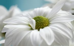 Wallpaper white, flower, macro, Daisy