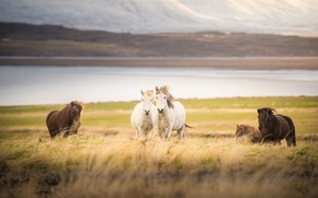 Picture mountains, river, field, horse, river, field, mountain, horses