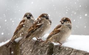 Picture birds, snow, sparrows, winter
