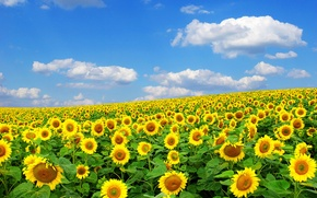 Picture summer, the sun, sunflower, nature