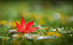 Picture grass, autumn, bokeh, leaf, mapleleaf