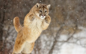 Picture face, snow, jump, paws, Puma, Cougar