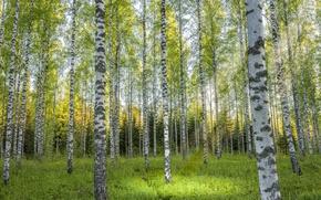 Picture summer, birch, grove
