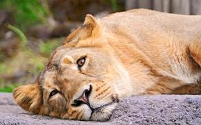 Picture face, Leo, lies, lioness, looks