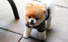 Picture face, puppy, Pomeranian