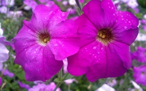 Picture summer, drops, flowers, after the rain, Petunia