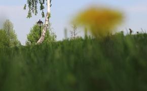 Picture yellow, green, mood, dandelion, post, birch