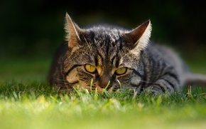 Wallpaper cat, grass, cat, look, muzzle