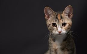 Wallpaper cat, kitty, background, muzzle