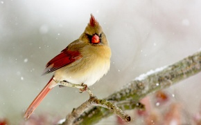 Picture winter, bird, branch, bird, Lady, Cardinal, Cardinal