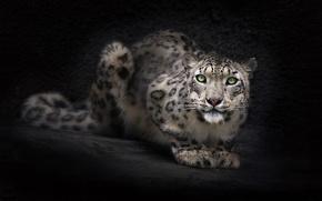 Picture look, face, background, Wallpaper, Snow leopard, IRBIS, dark