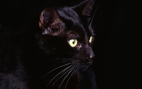 Picture eyes, cat, mustache, black, Black, eyes, cat, whiskers