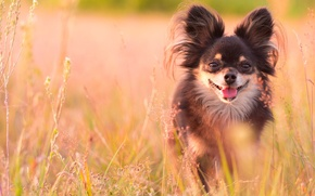 Picture field, grass, dog