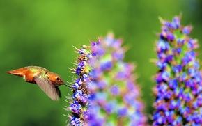 Picture flower, nature, nectar, bird, beak, flight