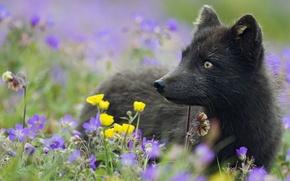 Picture grass, flowers, plants, black, Fox, Arctic Fox