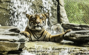 Picture face, tiger, predator, bathing, wild cat, zoo