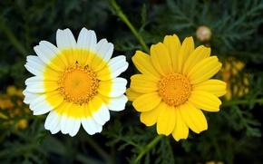 Picture macro, chamomile, Duo