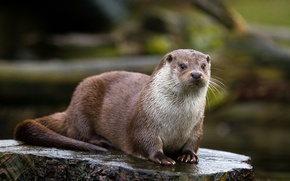 Picture look, stump, stump, otter