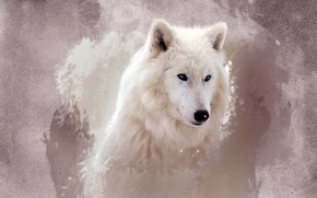 Picture white, eyes, face, wolf