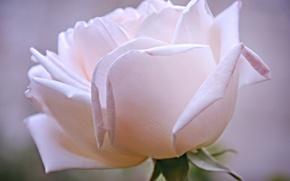 Picture flower, rose, petals