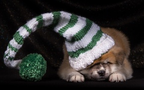 Picture hat, puppy, Japanese Akita