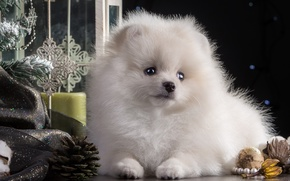 Picture white, toys, new year, puppy, tree, Spitz