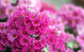 Wallpaper macro, flowers, bright, pink, Phlox