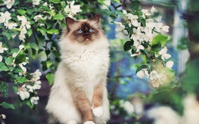 Picture flowers, branches, tree, spring, Cat, Siamese