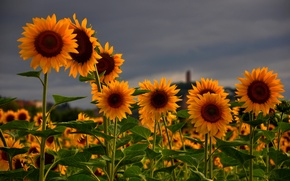 Picture flowers, the sky, Sunflowers, grey, nature, field, summer