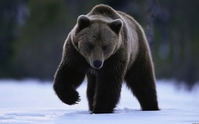 Picture look, snow, paw, bear