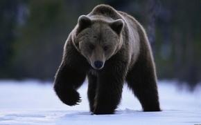 Wallpaper look, snow, paw, bear