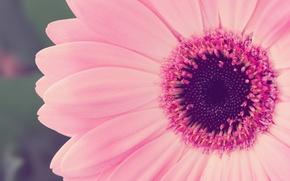 Wallpaper pink, flowers, nature