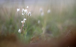 Picture grass, blur, spikelets, Benjamine