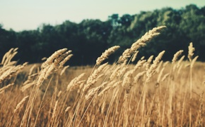 Picture field, grass, nature, ears