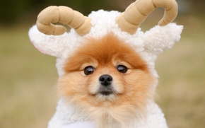 Picture animal, dog, Spitz, RAM