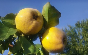Picture autumn, the sky, leaves, quince
