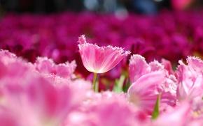 Picture field, macro, flowers, petals, blur, Tulips, pink