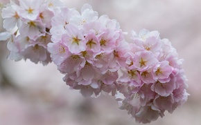 Picture macro, cherry, branch, flowering, flowers