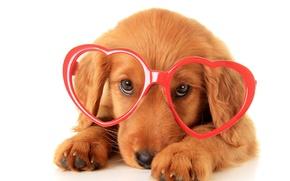 Picture glasses, puppy, Retriever, Dogs, Glasses, Retriever