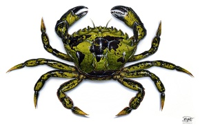 Picture green, drawing, crab, crustacean
