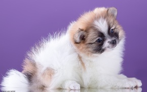 Picture cute, spotted, Spitz