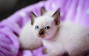 Picture kittens, kitty, blue eyes