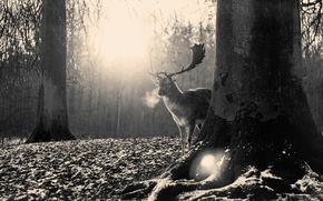 Picture forest, nature, deer, horns, black and white