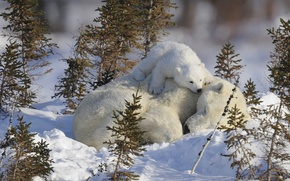 Picture baby, bears, sleeping, white, cub, mom, bear, bear, in the snow