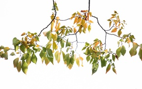 Picture leaves, branches, nature